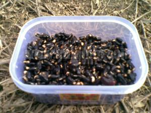 Budidaya Kacang Panjang - Benih Kacang Panjang