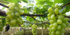 tanaman anggur