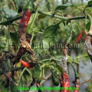Penyakit busuk buah, busuk kering pada tanaman cabe