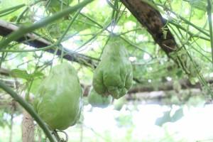 Lanjaran / Para-para tanaman labu siam/jipang