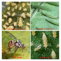 kutu daun, ulat grayak, lalat buah dan hama thrips
