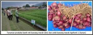 varietas bawang merah agrihorti