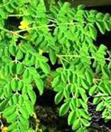 manfaat daun kelor bagi kesehatan
