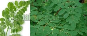 beragam manfaat daun kelor