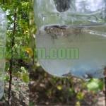 Membuat Perangkap Lalat Buah Dengan Pisang Matang