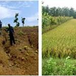 Tumpangsari Tanaman Perkebunan Dengan Padi Gogo
