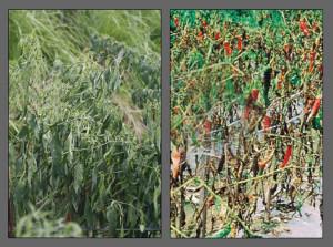 layu fusarium pada tanaman cabe