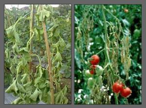 layu fusarium pada tanaman melon dan tomat