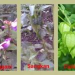 Tanaman Inang Hama & Penyakit Pada Tanaman Cabe