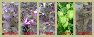 tanaman inang hama cabe