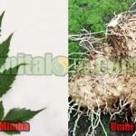 Cara Membuat Pestisida Nabati II