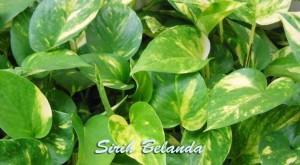 daun sirih belanda sebagai penetral udara dari racun
