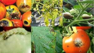 cara mengendalikan hama dan penyakit tanaman tomat