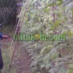 Kelebihan dan Kekurangan Pestisida Nabati