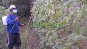kelebihan pestisida nabati