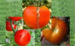 cara mengatasi retak buah tomat