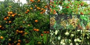 Teknologi menciptakan tanaman berbuah sepanjang waktu