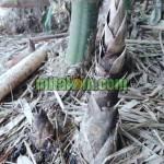 Cara Membuat MOL Rebung Bambu