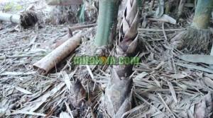 perangsang pertumbuhan rebung bambu