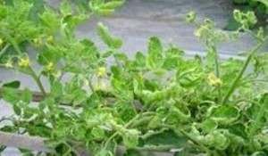 penyakit keriting bule tanaman tomat