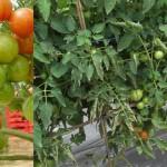 Type Tanaman Tomat Berdasarkan Pertumbuhannya