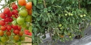 type tanaman tomat, jenis tanaman tomat,jenis-jenis tanaman tomat
