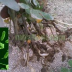 Pengertian dan Fungsi PGPR (Plant Growth Promoting Rhizobacteria)