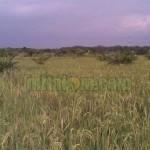Budidaya Padi TOT (Tanpa Olah Tanah)