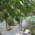 Cara Praktis Menanam Melon