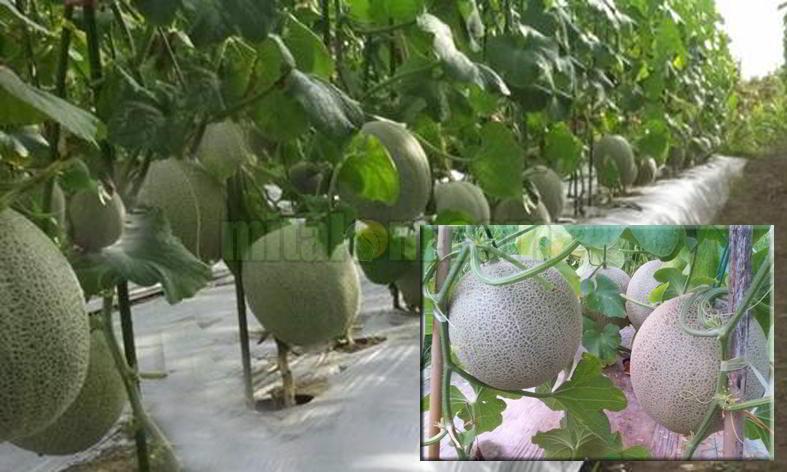 12 Tips Budidaya Menanam Melon Agar Berbuah Besar Dan Menguntungkan