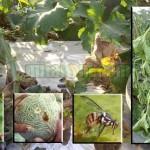 Mengatasi Hama dan Penyakit Tanaman Melon