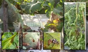 Mencegah Hama Penyakit Tanaman Melon