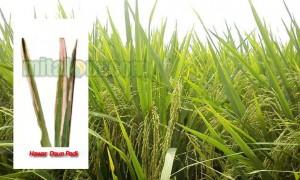 mengatasi penyakit kresek pada tanaman padi
