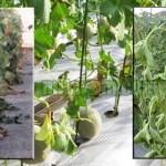 Mencegah Layu Fusarium Pada Tanaman Melon