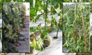 Layu Fusarium Pada Tanaman Melon