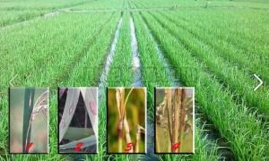 Mengatasi penyakit blast pada tanaman padi