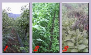 Meningkatkan hasil dengan pola tanam tumpang sari
