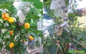 Mengendalikan Lalat Buah