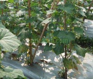 tujuan pemangkasan tanaman mentimun