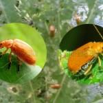 Mengendalikan Hama Oteng – Oteng (Kumbang Perusak Daun)