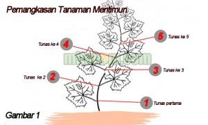 manfaat pemangkasan tanaman mentimun