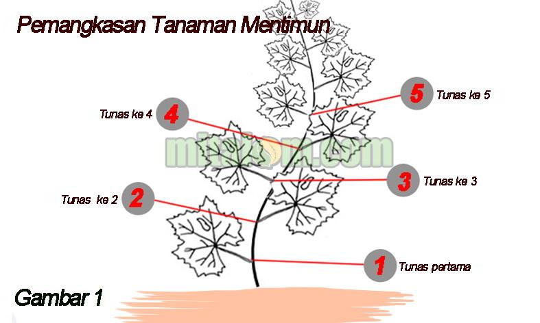 9 teknik cara pangkas tunas mentimun dan manfaat pemangkasan timun manfaat pemangkasan tanaman mentimun ccuart Images