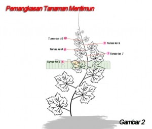 Teknik pemangkasan tanaman mentimun