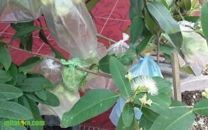 Tips Mengendalikan Lalat Buah