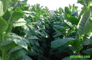 Mengenalikan Hama dan Penyakit Pada Tanaman Tembakau