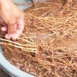 Cara Membuat PGPR (Plant Growth Promoting Rhizobakter)