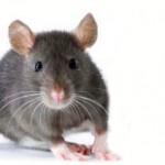 Cara Alami Mengusir Tikus Dan Serangga Rumah Tangga