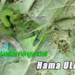 77 Jenis Insektisida Pengendali Hama Ulat