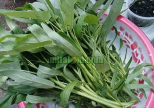 Kandungan Gizi dan Manfaat Sayur Kangkung