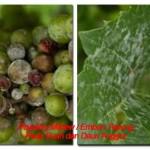 Mengendalikan Penyakit Tanaman Anggur (Page 1)